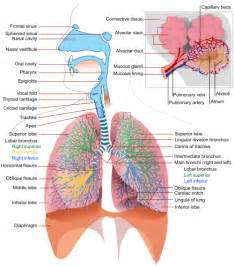 respiratory system lesson resources the homeschool scientist