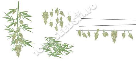 wann erntet cannabis die ernte bei cannabis und weiterverarbeitung 1000seeds