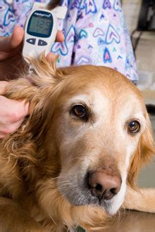 diabetes in dogs preventing and treating canine diabetes the bark