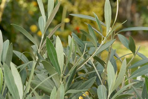 Olivenbaum Schneiden Wann Und Wie Der R 252 Ckschnitt Bei