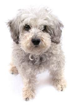 puppy rescue cincinnati image gallery schnoodle rescue
