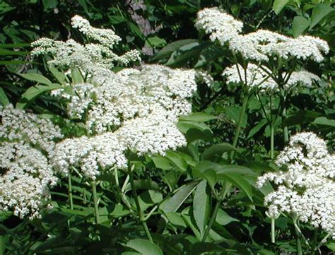 common flowering shrubs elderberry american black or common sambucus