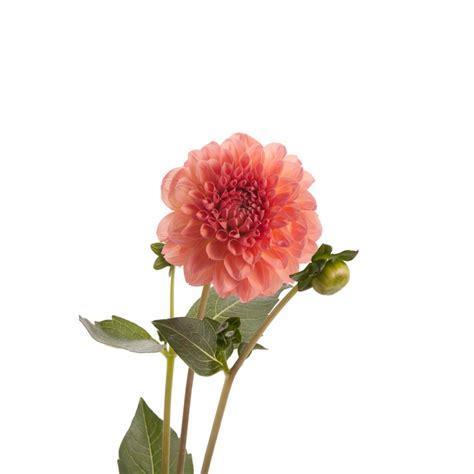 pink peach dahlia flower dahlias types  flowers