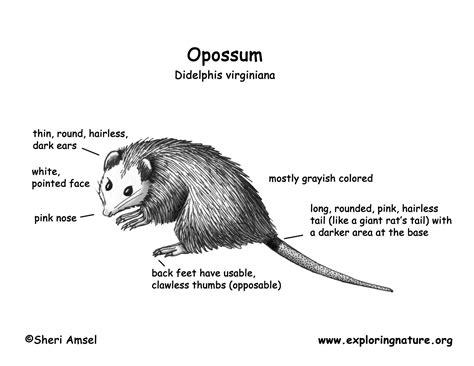opossum anatomy diagram opossum