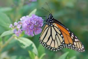 18 plants that attract butterflies a regional guide organic authority