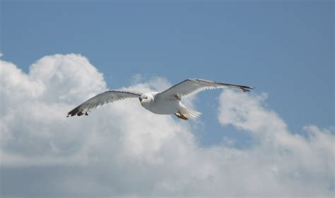 livingston gabbiano il gabbiano jonathan livingston my