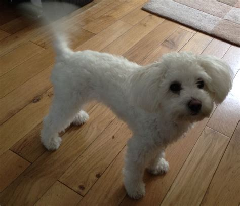 white maltipoo puppies maltipoo white maltese poodle for sale basingstoke hshire pets4homes