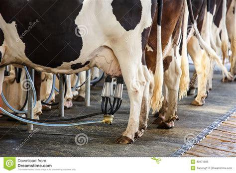 petit trait de la installation de traite de vache photo stock image 40171505