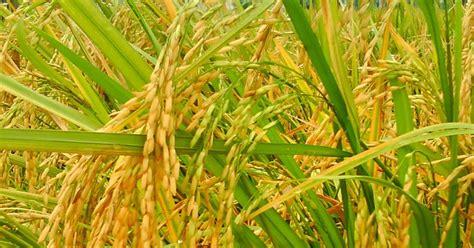 Bibit Jagung Lokal petani di pakpak bharat pilih padi lokal siharapanku