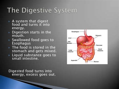 Digestive System Powerpoint Digestive System Powerpoint