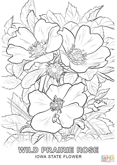 coloring pictures of state flowers iowa state flower coloring page free printable coloring