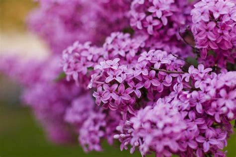 growing delicately blooming lilacs