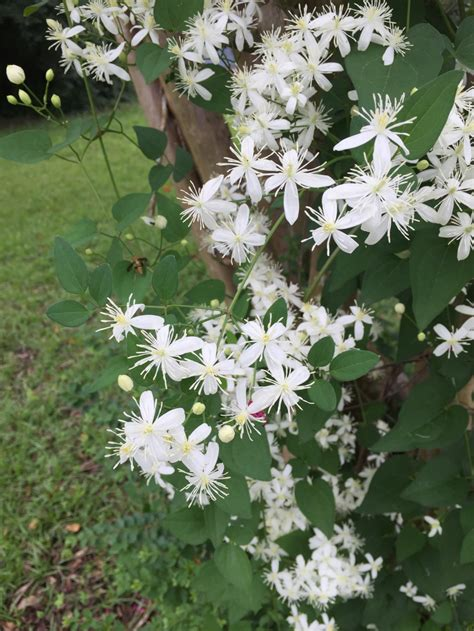 white flowering vines now blooming birmingham gardening today