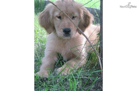 golden retriever puppies for sale in maine golden retriever puppy for sale near maine a8346314 d8e1