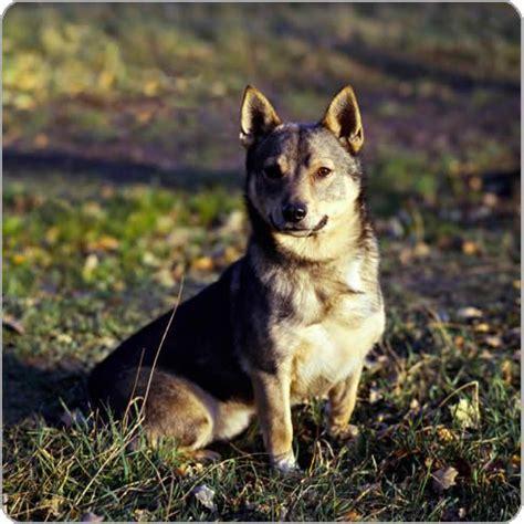 wolf corgi puppy best 25 wolf corgi ideas on puppies