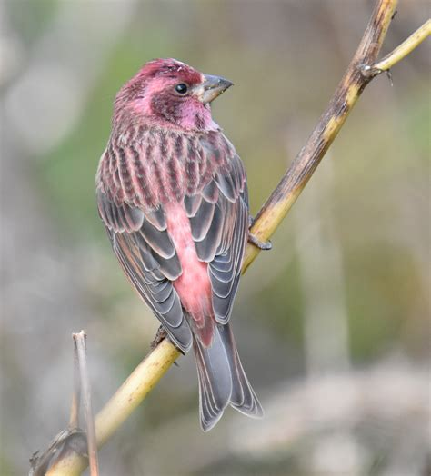 do house finches migrate 28 images how to tell apart