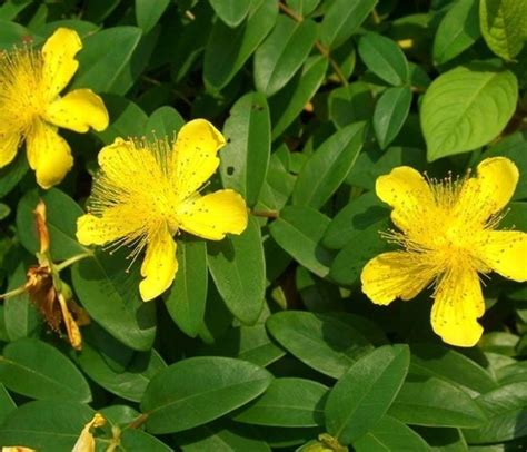 iperico fiore iperico pianta piante perenni iperico caratteristiche
