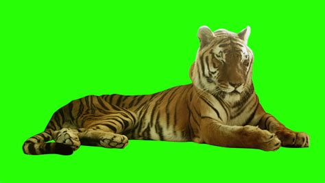 Sd 7142 Green tiger stock footage