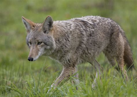 coyote images coyote wallpapers backgrounds