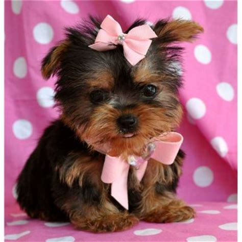 baby yorkies adoption adorable tea cup yorkie puppies for free adoption