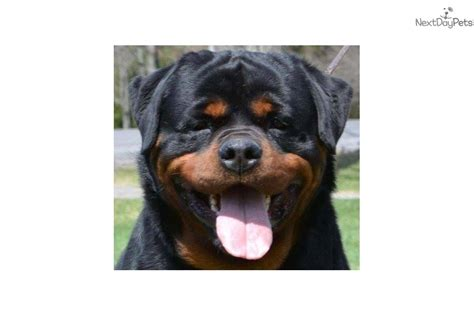 rottweiler puppies syracuse ny heads rottweiler puppy for sale near syracuse new york 765c05a8 ad11
