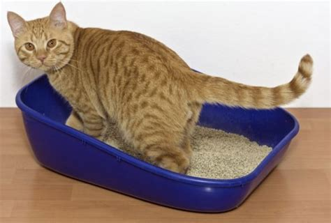 how to a to use litter box how to a cat to use a litter box purrfect cat breeds