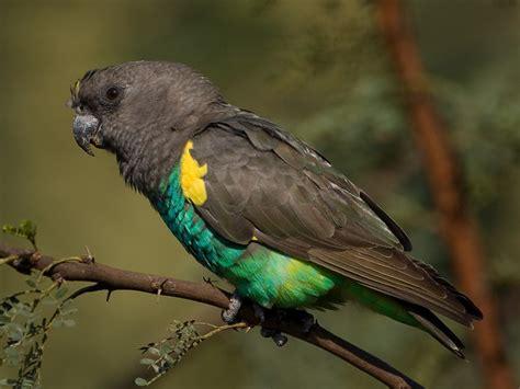 meyers parrot poicephalus meyeri  visited