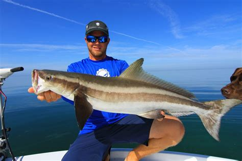 cobia boats florida keys big cobia from the florida keys outdoor performance