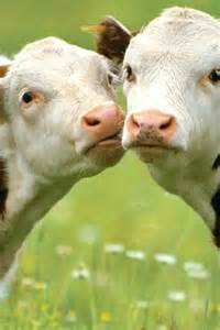 cows images cuddly cows wallpaper and background photos