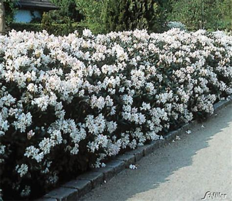 rhododendron hecke rhododendron hybride cunnighams white rhododendron
