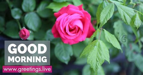 greetingslivefree daily  pictures festival gif images pink rose flower good morning