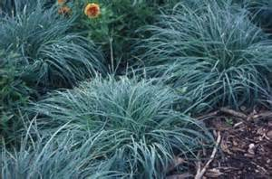 Best Ground Cover For Shade Carex Blue Zinger Bay Laurel Garden Center