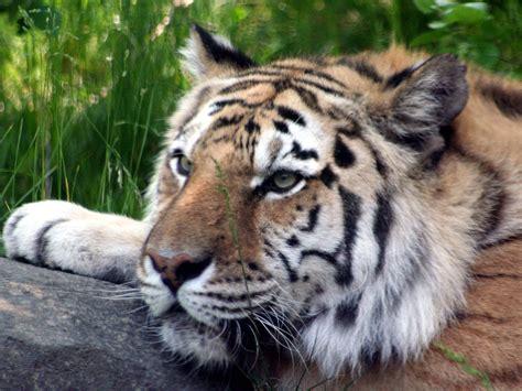 imagenes fondo de pantalla tigre fondos de pantalla de tigres wallpapers fondos de