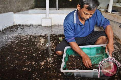 Belut 150grm Penggemuk Belut Ori pasar belut godean wisata kuliner khas sleman antara news