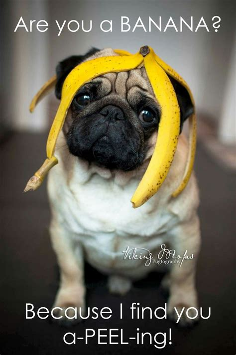 you pug 25 best ideas about pug meme on pugs pug puppies and pug puppies