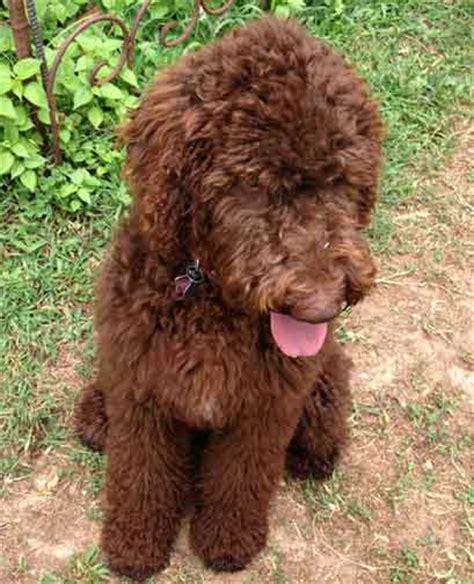 royal poodle lifespan royal standard poodle customer pictures