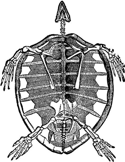 Skeleton of Turtle   ClipArt ETC