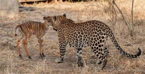 one for another leopard nyala kruger kill africa