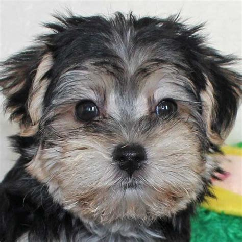 morkie puppies for sale morkie puppy for sale in boca raton south florida