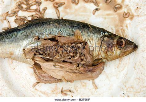 with maggots maggots stock photos maggots stock images alamy
