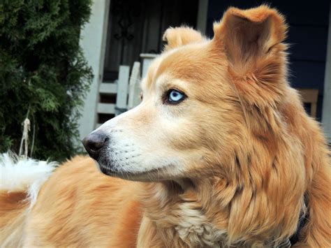 golden retriever mixed golden retriever husky mix