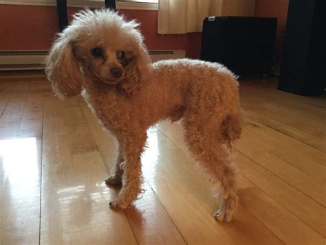 mini poodle weight poodle weight gain photo