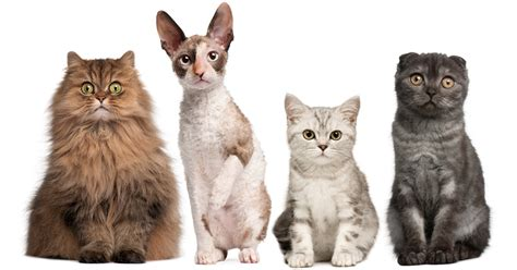 best of cat top 10 most popular cat breeds cattime