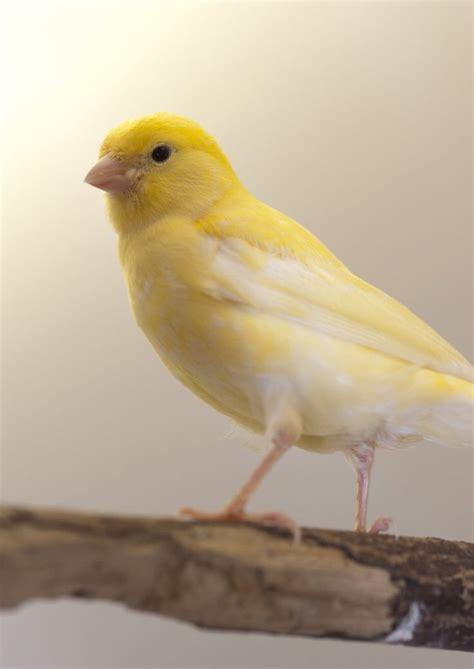 canaries bird yellow stock photos 25 best ideas about canary birds on pinterest pet birds
