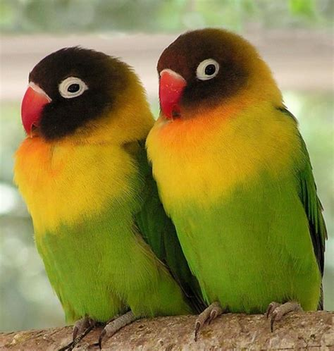 gambar macam macam burung kenari gameonlineflash