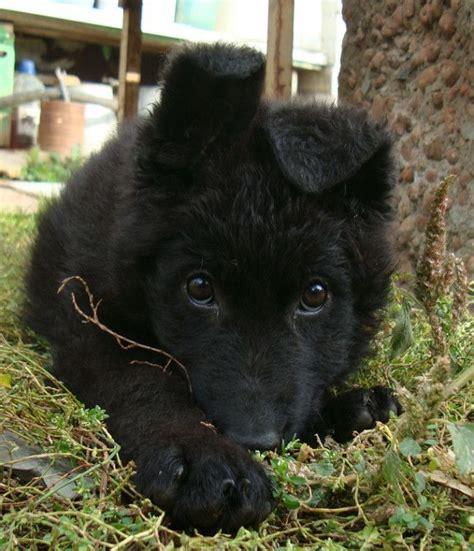 black shepherd puppies 25 best ideas about black german shepherd puppies on black german shepard
