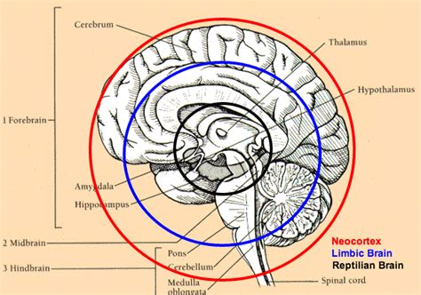 cross section of circle if you look at a cross section of the human brain looking