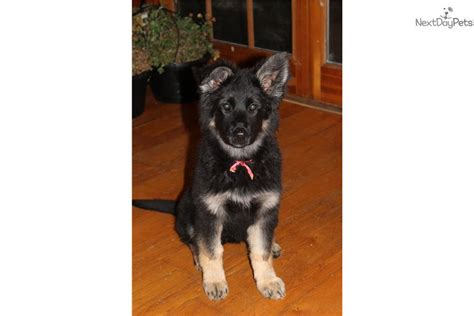 plush coat german shepherd puppies for sale dogs and puppies for sale and adoption oodle marketplace