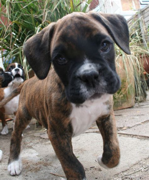 5 in 1 puppy stunning boxer puppy crawley west sussex pets4homes