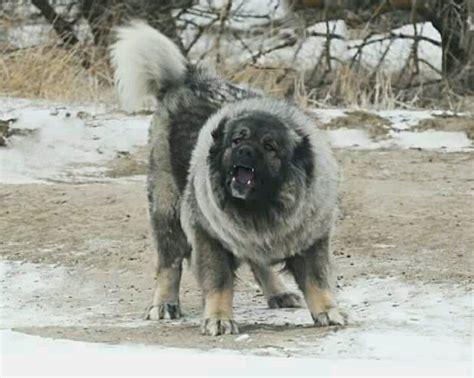 caucasian ovcharka caucasian ovcharka dogs